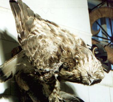 Перелетная птица, доходящая до нашей республики на зимовку.  Общая длина.